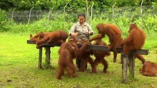 Giovani orangotango sono in libertà e cerca di cibo presso il centro riabilitazione nyaru menteng nel borneo centrale. orfani quindi ad inseg...