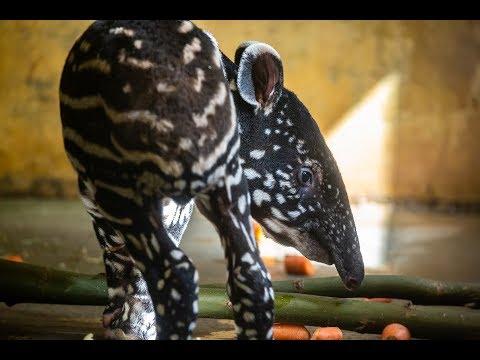 Au zoo d'Anvers, naissance d'un bébé tapir entièrement moucheté (photos et vidéo)
