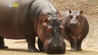 Police Investigating After A Man Sneaks Up And Spanks A Hippo At LA Zoo