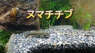 今回は日本淡水魚の中でメジャーではないお魚『ヌマチチブ』を紹介します。 ナレーションも入れてませんが是非愛嬌のあるヌマチチブの行動を...