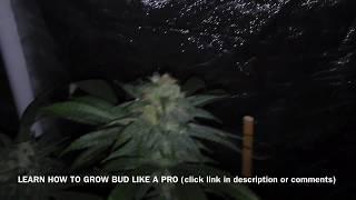 Gelato 45 x Girls Scout Cookies | Indoor Grow Tent | Week 5 Flowering Stage