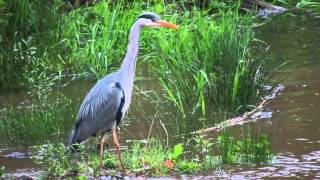 heron at North Lanarkshire  - Strathclyde Country Park