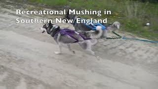 Training Sled Dog Commands while Walking Your Dogs:  Mushachusetts Episode #1