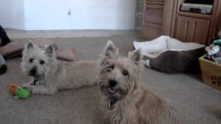 Cairn Terrier Starry Night Shows Her New Trick