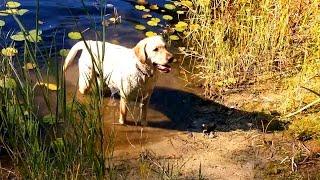 Labrador/retriever Age 29 Months - Happy Autumn