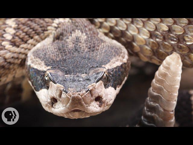 Look Inside a Rattlesnake's Rattle | Deep Look