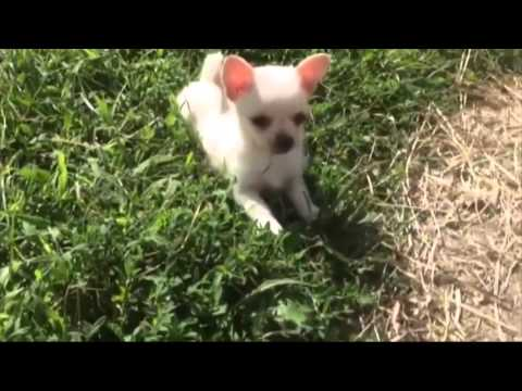 Chihuahua Plays With Baby Goats Goat Outside and Play Funny Animal Vines 2016
