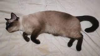 My Siamese (Thai Cat) Avatar talking