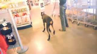 Funny Doberman Dog Trying To Walk With Boots