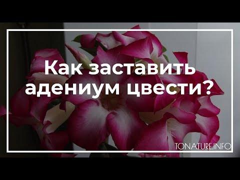 Как заставить адениум цвести? | toNature.Info