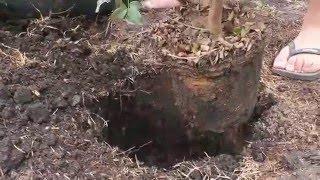 Plantando  jabuticaba
