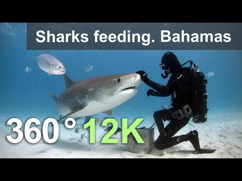 Sharks feeding. Bahamas. Underwater 360 video in 12K