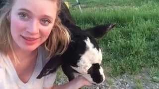 Meet Kevin the baby cow!