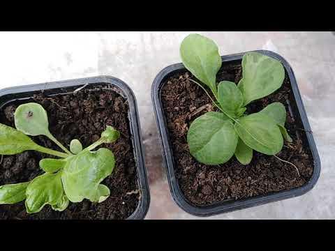 Как выглядит Вирус на растениях вы должны знать в лицо!!!