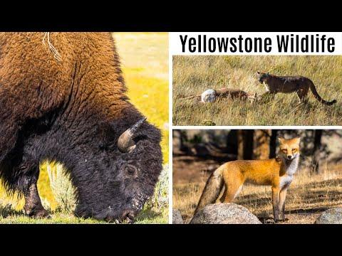 Yellowstone Wildlife Encounters | Bison, Cougar, Red Fox, Elk, Coyote, Pronghorn Antelope