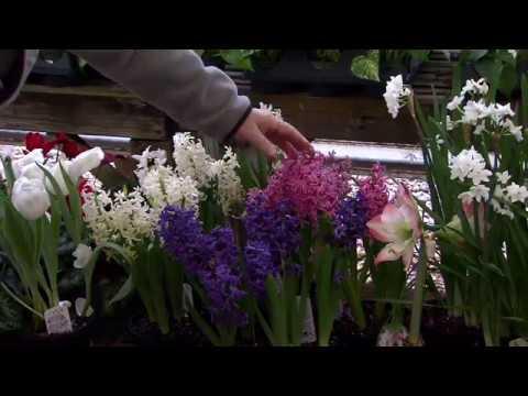Spring flowering bulbs youtube spring flowering bulbs mightylinksfo