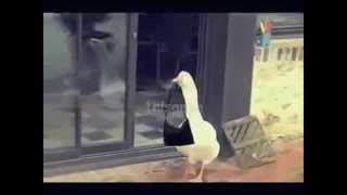 Çanta Hırsızı Kaz !! Videosu