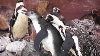 2013年4月24日生まれの子供ペンギンです。プールデビューしましたが早速...