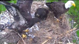 MNBound Eagles Peace Helps Dad De-Feather Prey 6-1-13