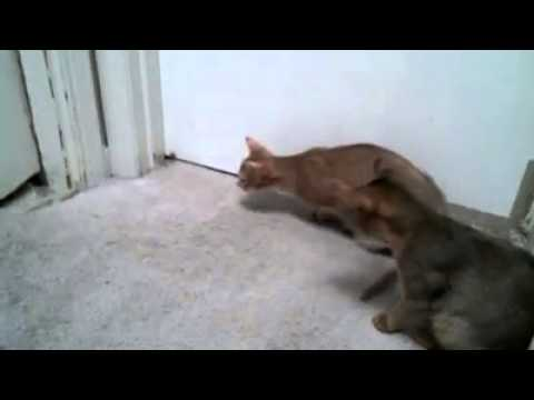 abyssinian cat breeders tormenting the poor dog