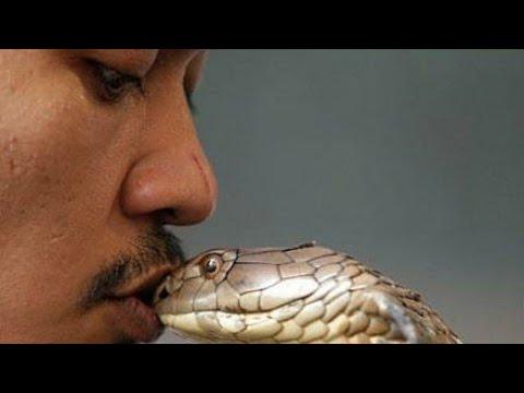 King Cobra Attack: Top 8 Snake Bite Caught On Camera In 2019 | Cobra Charmer