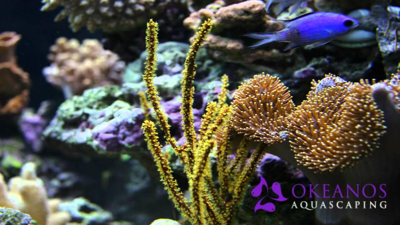 Custom Coral Reef Aquariums By Okeanos Aquascaping