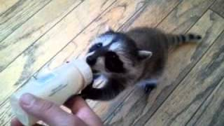 Download Video Hungry baby raccoon MP3 3GP MP4