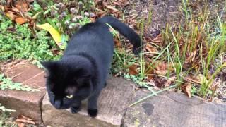 A Very Talkative Friendly Black Cat