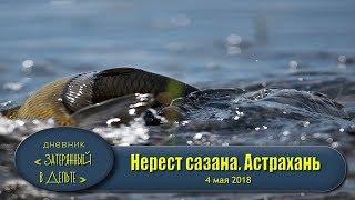 Как нерестится сазан? Рыбалка в  Астрахани весной. Полои вытеки.   ки