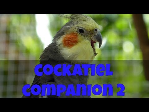 60 Minutes of COCKATIELS! | Cockatiel Companion 2 (Narration Free)