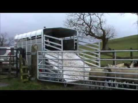 how to get a stubborn horse into a trailer