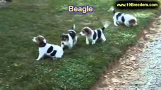 Beagle, Puppies, For, Sale, In, Portland, Oregon, Or, Mcminnville, Oregon City, Grants Pass, Keizer,