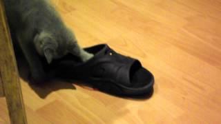 Шотландская прямоухая кошка (котенок 3 месяца), Scotish strite