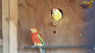 Redrump Mutation Lutino Redrump Parakeets