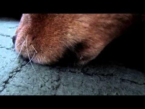 Dog Licking Peanut Butter off Her Nose | Doovi