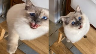 BEST VIDEO OF BIRMAN CATS