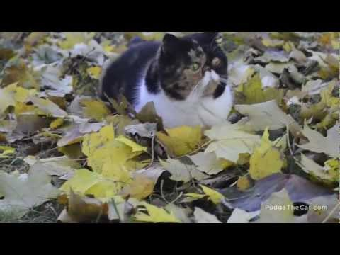 Thumbnail for Cat Video Pudge the Cat Plays in the Leaves