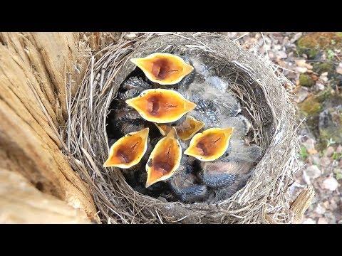Птенцы дрозда рябинника в гнезде, Chicks Of Fieldfare In Nest