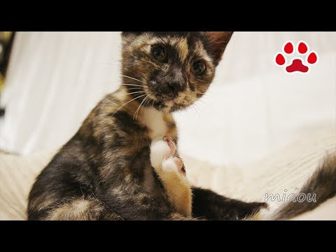 Cute Kitten Lana went on Medical checkup.[Cats room Miaou](turn on  English subtitle)