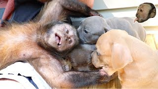 Monkey Meets Cute Pit Bull Puppies!