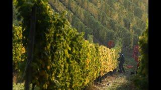 Symphony Hill Gewurztraminer is the hidden jewel of Queensland wine