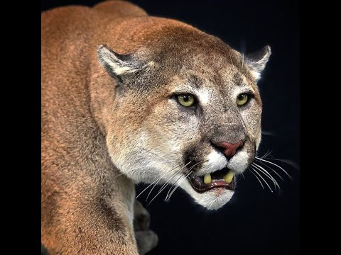 Arcadia Outfitting Record Book Cougar Hunt 2019