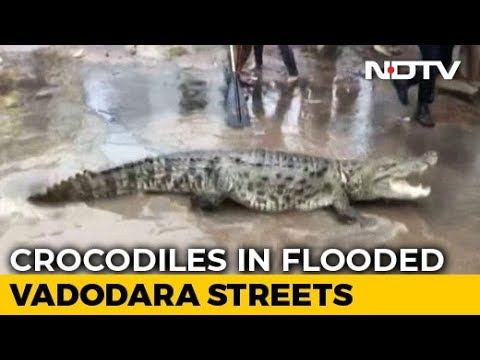 Chilling Crocodile Rescue From Flooded Street In Gujarat
