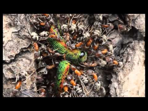 Ants attack a hatching jewel beetle