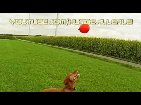 Vizsla Dog Magyar Vizsla Paul shows cute Balloon-Jumping Vizsla Slowmotion