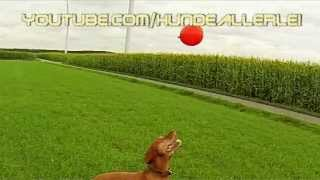 Vizsla Dog Magyar Vizsla Paul Shows Cute Balloon-jumping Vizsla Slowmotion
