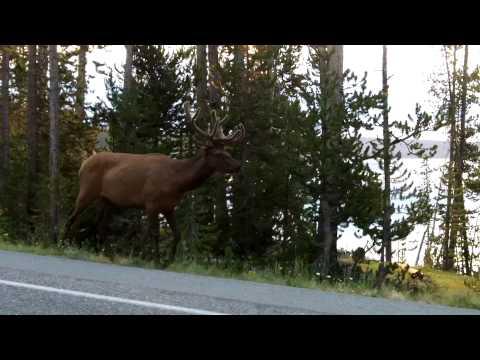 Yellowstone Elk 1