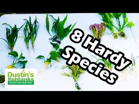 Easy Aquarium Plants. 8 Great Hardy Aquarium Plants. Species Sunday