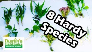 Hardy Species Of Aquarium Plants. 8 Great Hardy Aquarium Plants. Species Sunday