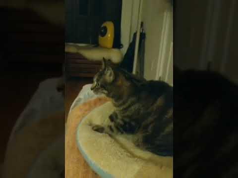 Un gato aficionado a las películas de acción no quita ojo a una batalla final y se hace viral en la Red